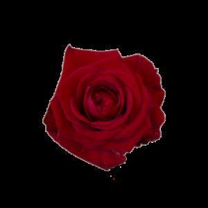 Röda rosor från Interflora, välj antal och storlek själv (max 45 st).