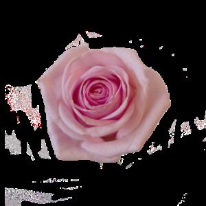 En rosa ros - beställ antal själv.