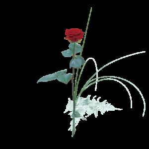 En enkel, solitär röd ros.